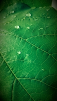 By Ashley Strange   Water Drops On Leaf